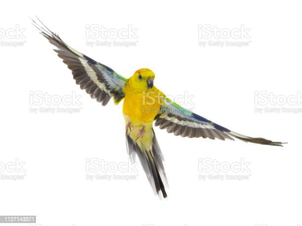 Parrot in flight isolated on white picture id1127143371?b=1&k=6&m=1127143371&s=612x612&h=iwu6rh9oro5furkfjvgi27r8m 9z 5seohi4sp3 xok=