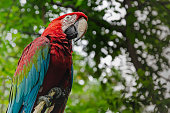 Kinky red macaw or scarlet macaw Ara macao with green sunny jungle background in Macaw Mountain Bird Park, Copan Ruinas, Honduras