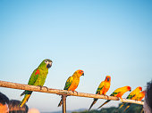 A pair of Ara parrots Macaws with bright red and blue feathers, long tails and long, narrow wings on wooden logs surrounded by green vegetation with a partially blurred background