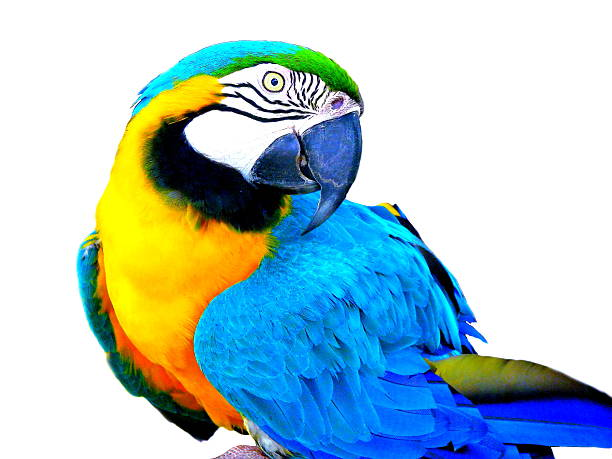 Parrot Isolated stock photo