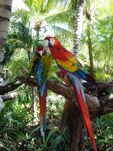 parrot love couple - fsachs78 stockfoto's en -beelden