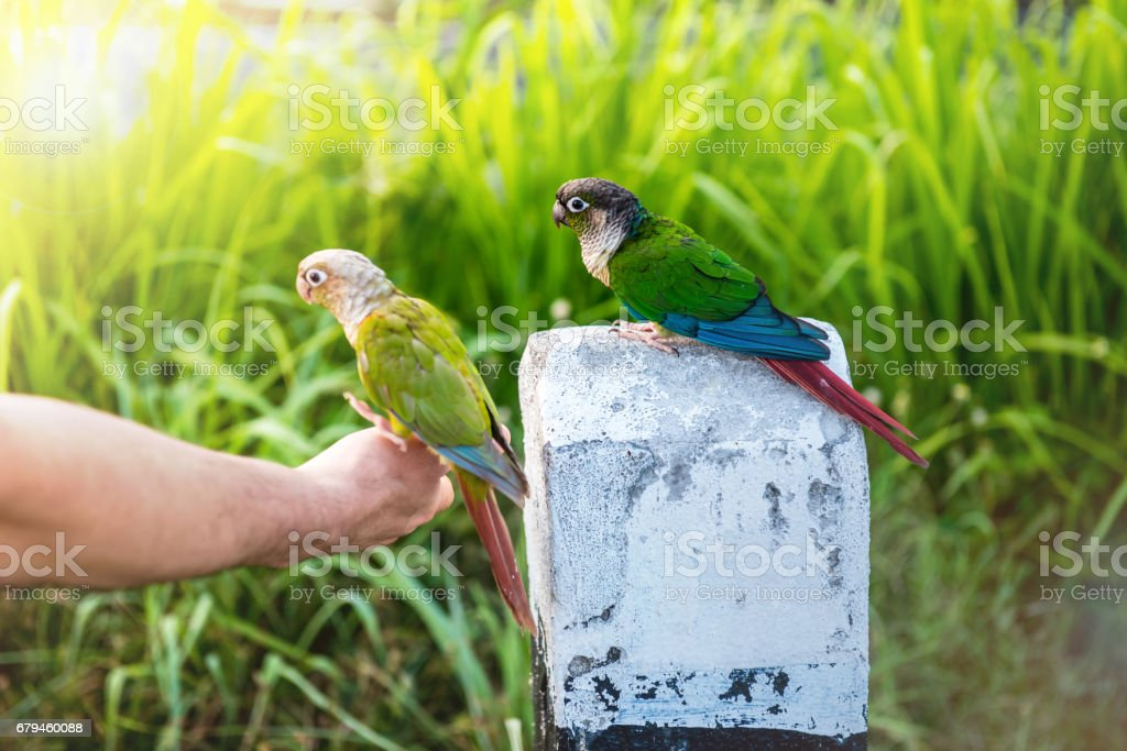 Parrot, lovely bird, animal and pet at natural park royalty-free stock photo