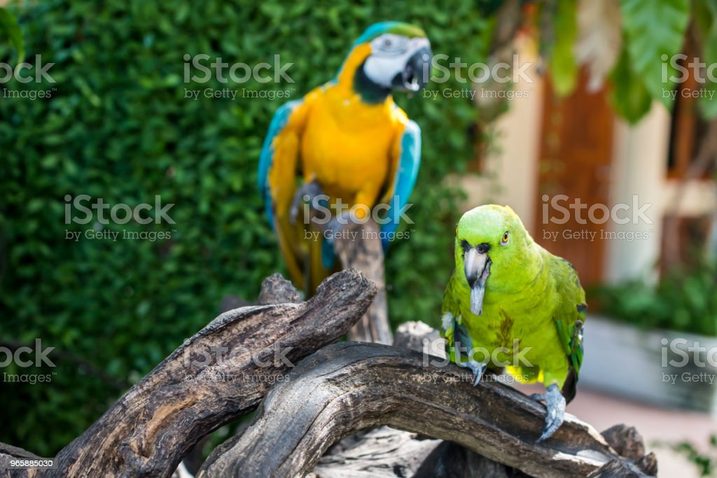Parrot, lovely bird, animal and pet in the garden - Royalty-free Animal Stock Photo