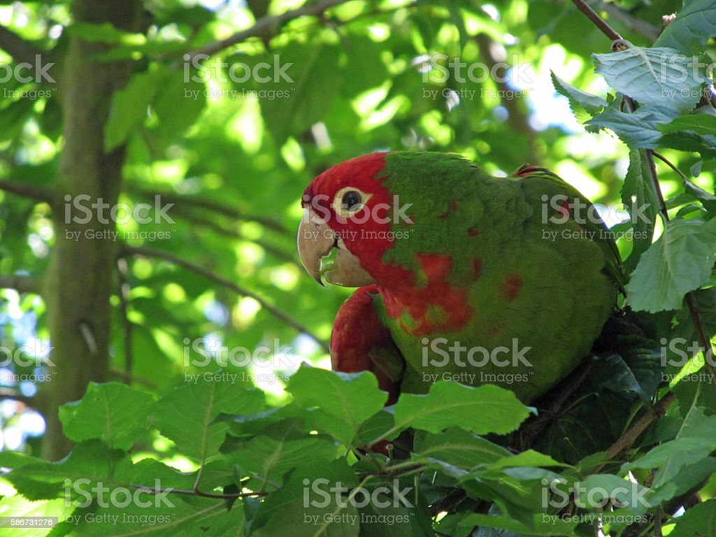 Parrot of Telegraph Hill stock photo