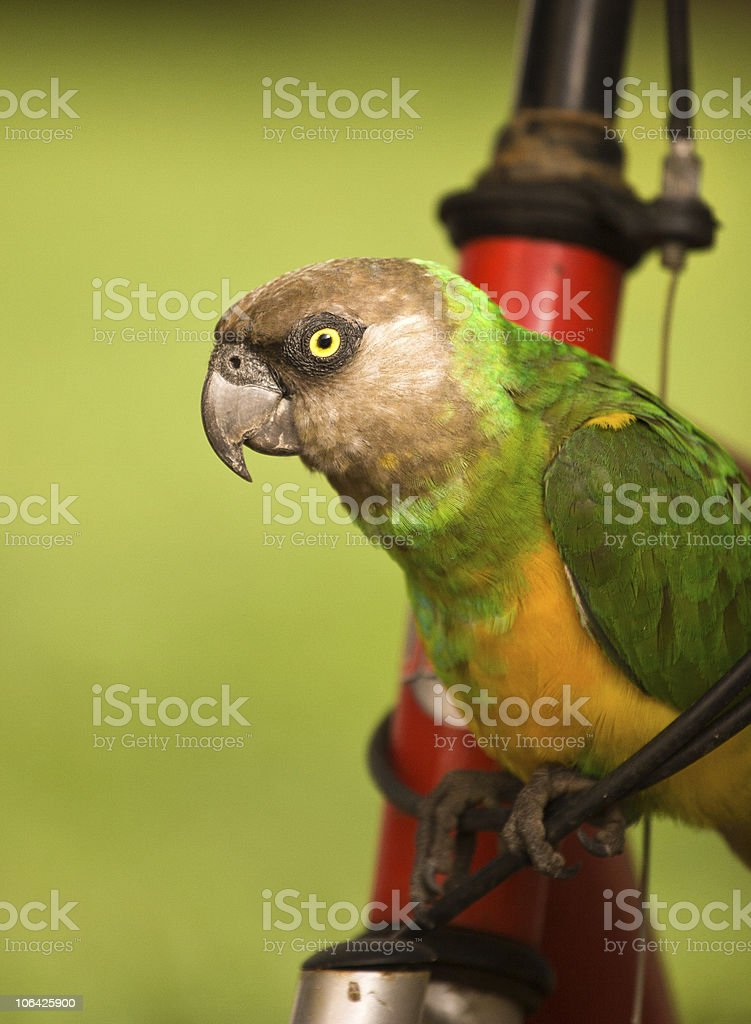 Parrot on a Bicycle royalty-free stock photo