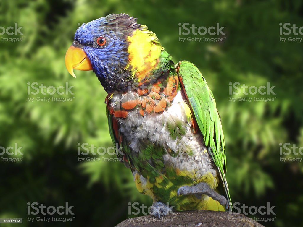 Parrot on Green royalty-free stock photo