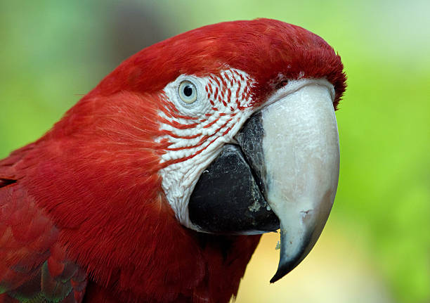 Parrot or Ara stock photo