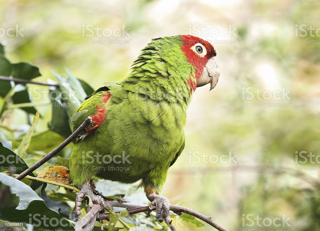 Parrot Parakeet Telegraph Hill San Francisco stock photo