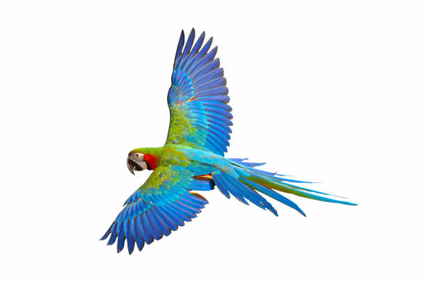 Parrot Colorful flying parrot isolated on white background. parrot stock pictures, royalty-free photos & images