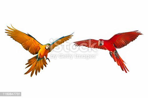 Colorful flying parrots isolated on white background