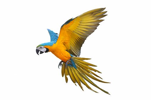 Blue and gold macaw parrot isolated on white