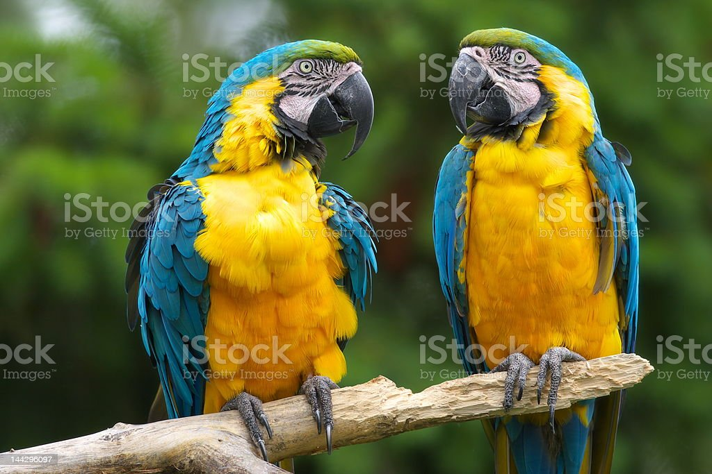 parrot royalty-free stock photo