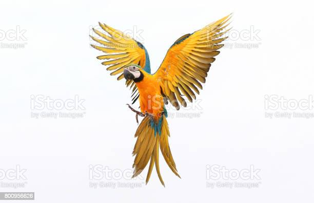 Parrot picture id800956626?b=1&k=6&m=800956626&s=612x612&h=0iuczrnz2lk1fde9yy70s5vdjrypmocc8jffawe6ang=