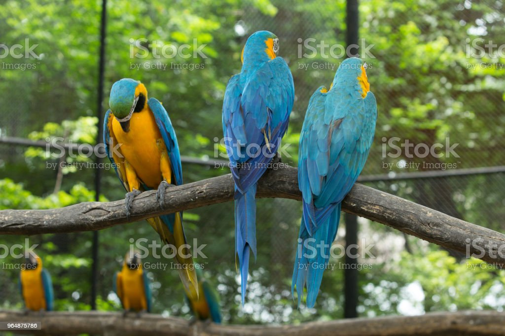 Papagaio  - Foto de stock de Amarelo royalty-free