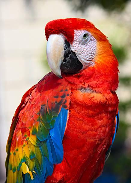 parrot retrato - arara vermelha retrato - fotografias e filmes do acervo
