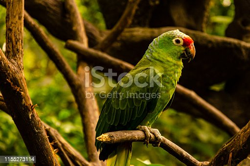 1153034372istockphoto parrot posing on a branch. Guayaquil, Ecuador 1155273114