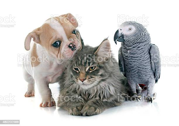 Parrot puppy and cat picture id480202588?b=1&k=6&m=480202588&s=612x612&h=ouxzwdoww7dnztsxe olme3gvsdrboxnmwp8j9jeqz4=