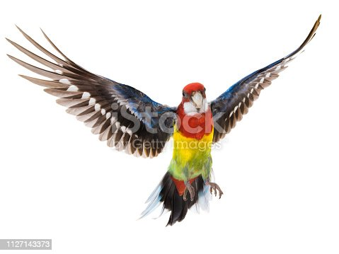 istock parrot Rosella parrot in flight isolated on white 1127143373