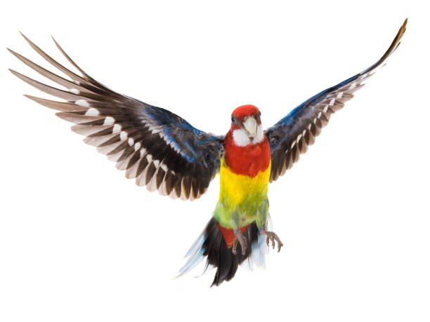 parrot Rosella parrot in flight isolated on white parrot Rosella parrot in flight isolated on white background caenorhabditis elegans stock pictures, royalty-free photos & images
