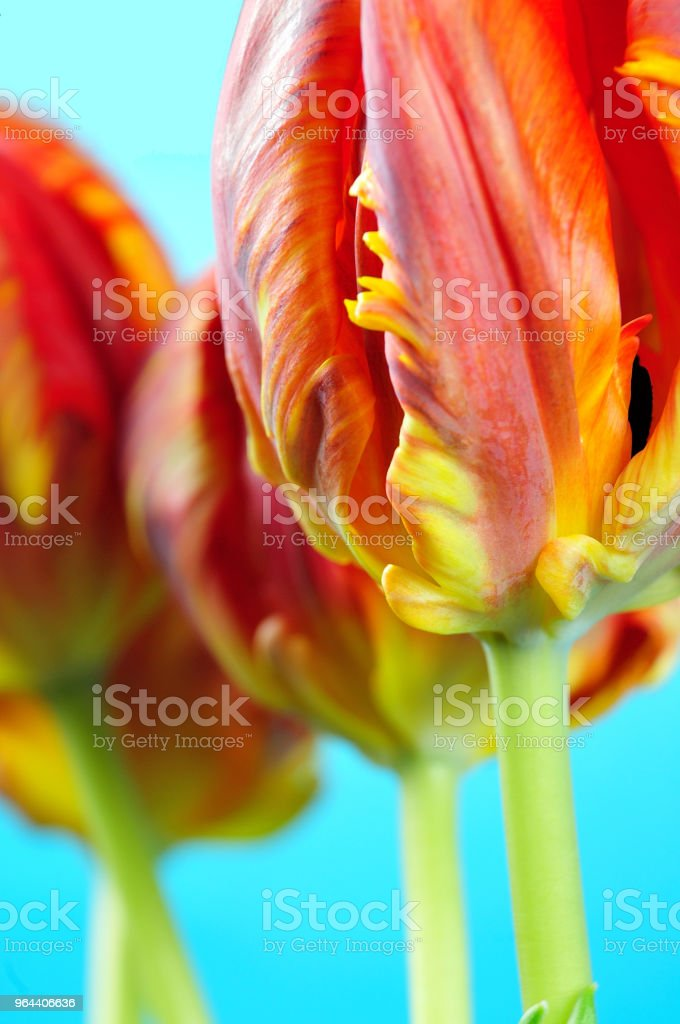 parrot tulips with serrated petals - Royalty-free Beauty Stock Photo