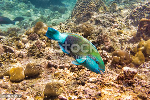 One colorful Singapore Parrotfish (Scarus prasiognathos) swims above a coral reef.  Location Andaman sea, Thailand.