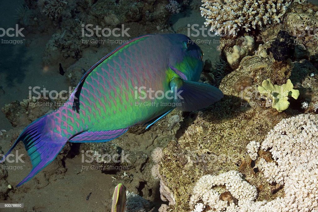 parrotfish royalty-free stock photo