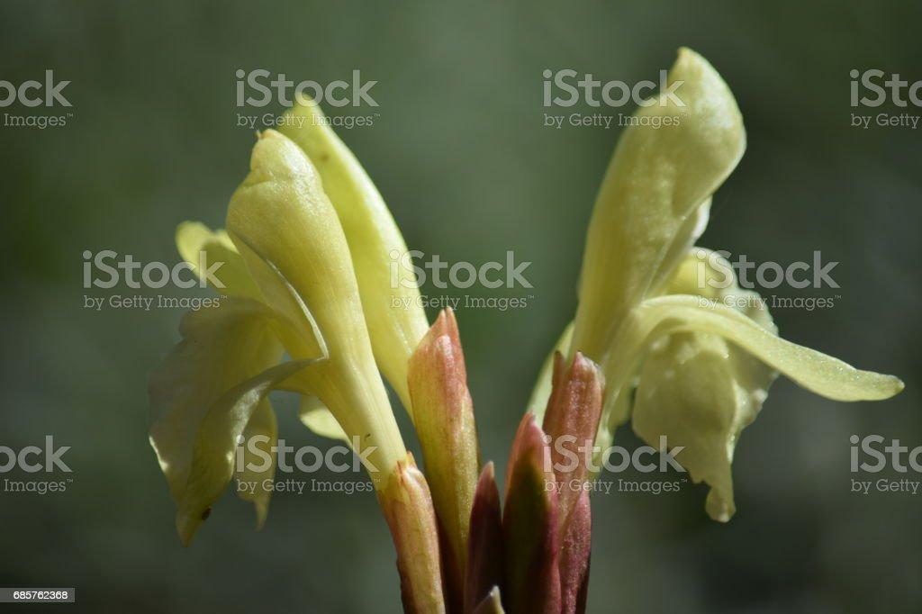 Papegaai-lily, gewoon openen royalty free stockfoto