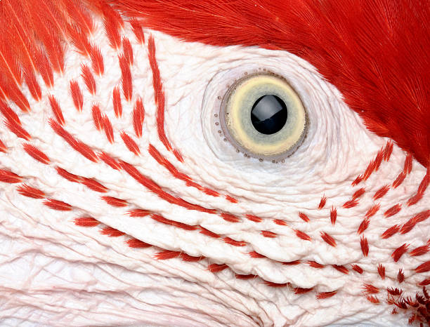 parrot's eye - animal eye stock pictures, royalty-free photos & images