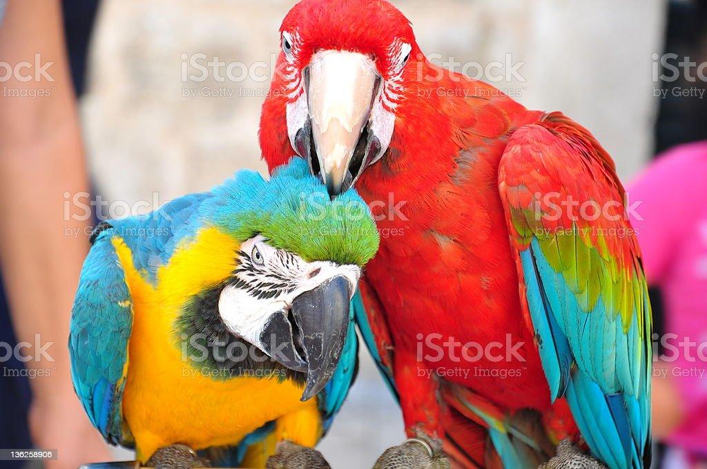 parrots royalty-free stock photo