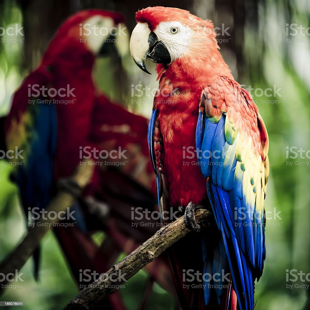 Two Scarlet Macaw, tropical rainforest on background.