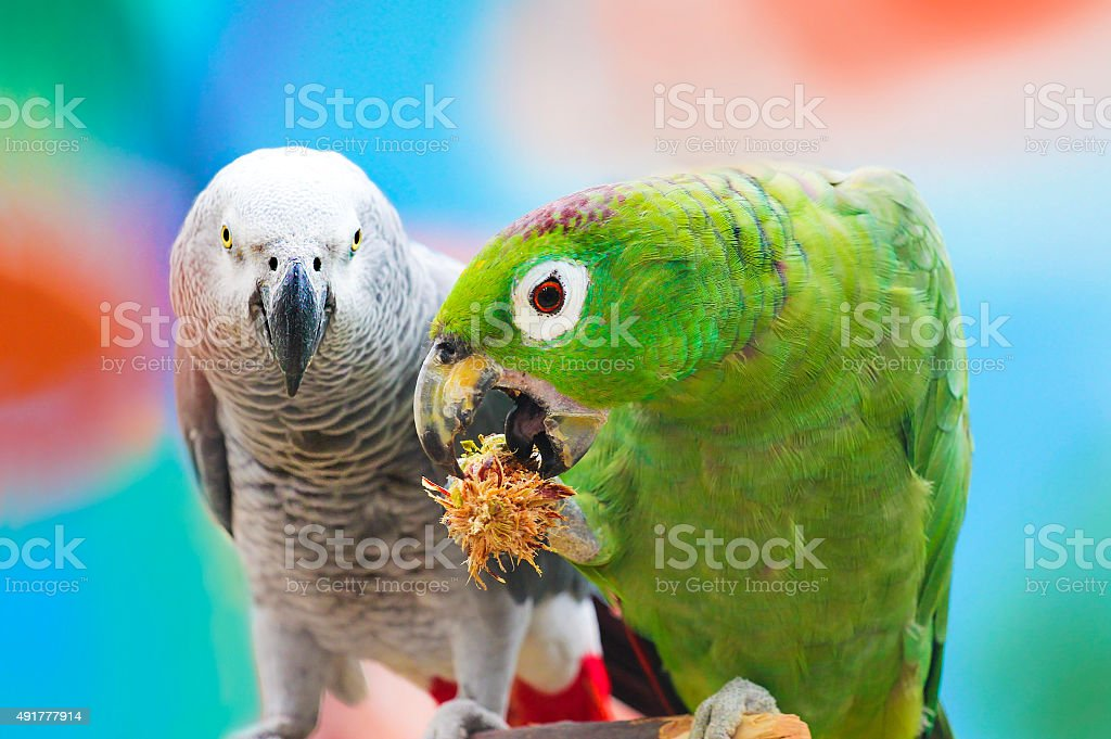 Parrots . stock photo