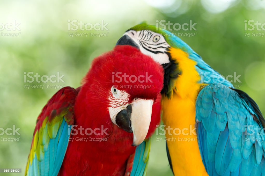parrots royalty-free stock photo