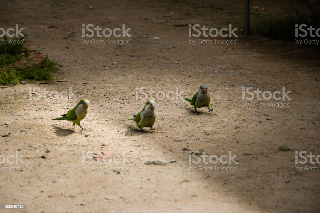 Parrots walking on the street. foto stock royalty-free