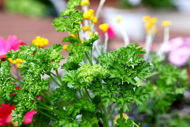 Parsley and Flowers Growing in Garden stock photo