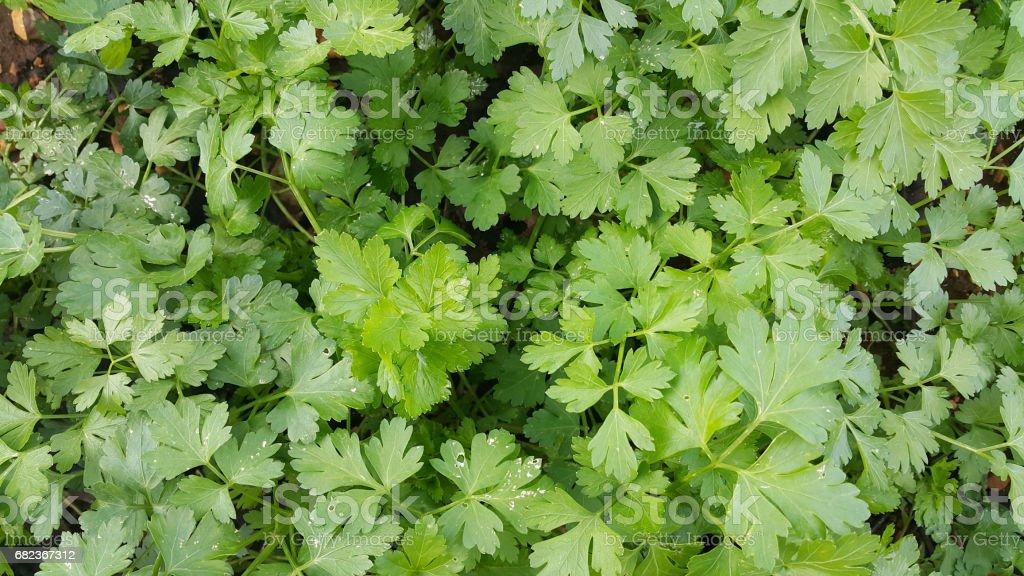 parsley backgound royalty free stockfoto