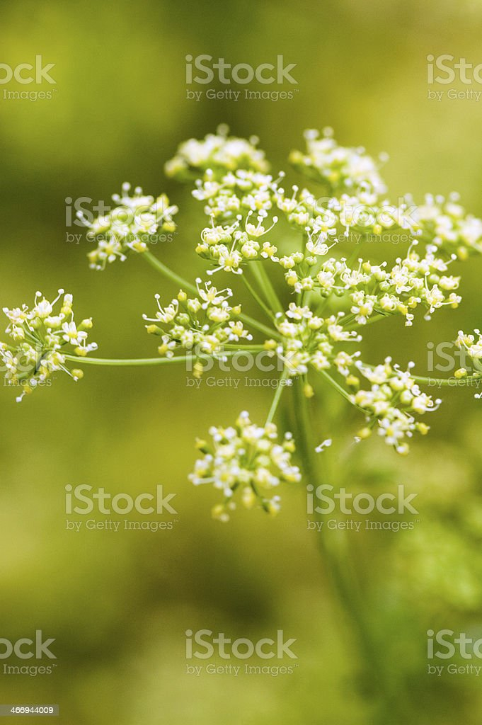 Parsley Flower Close-up stock photo