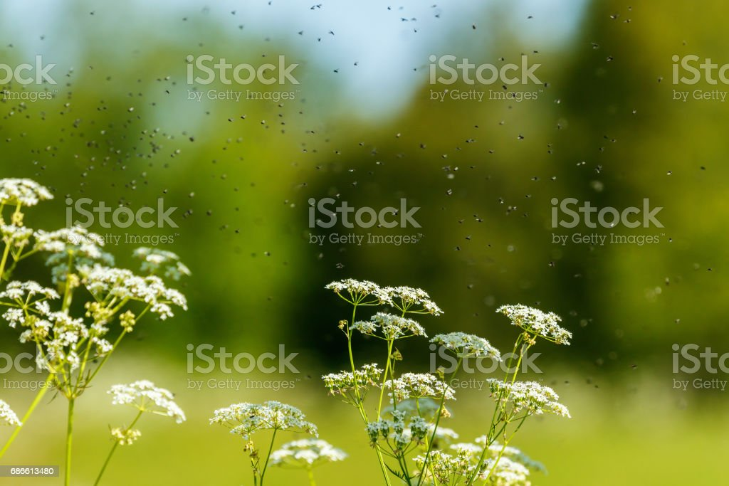 Parsley flowers with flies swarming in the summer royalty-free stock photo
