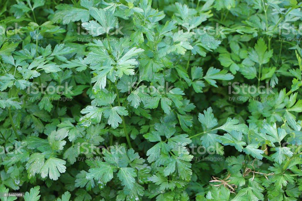 Parsley Green stock photo