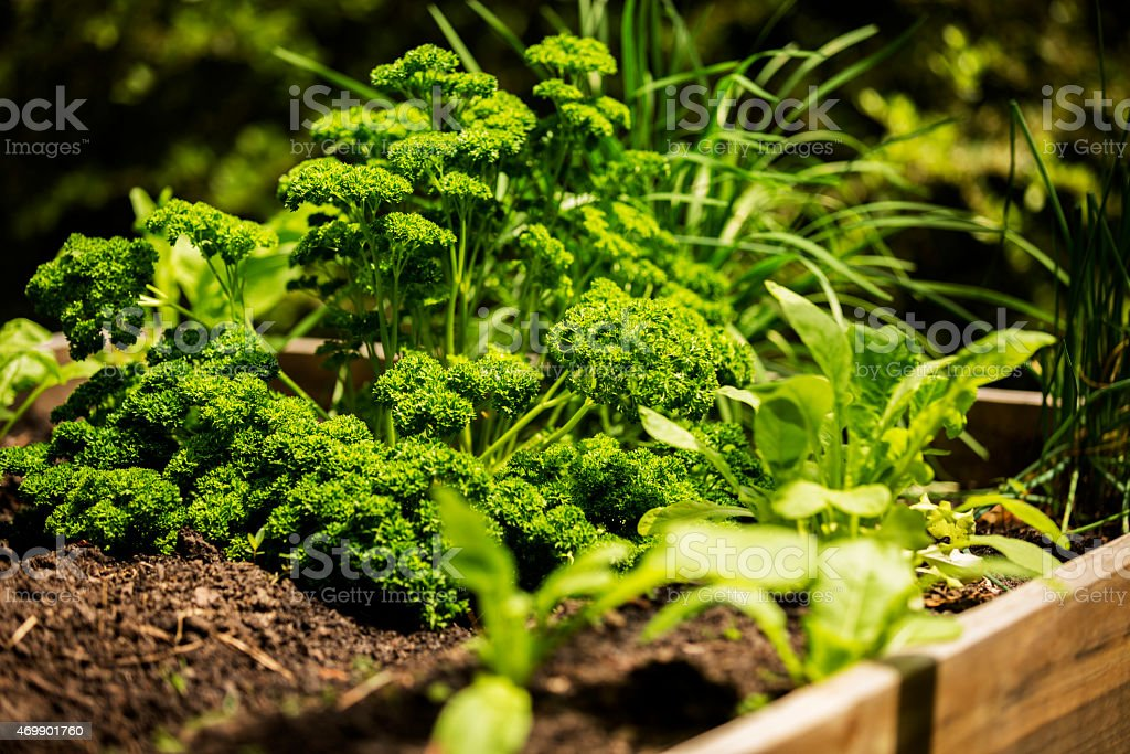 Healthy lifestyles and healthy eating. Close up of parsley growing in...