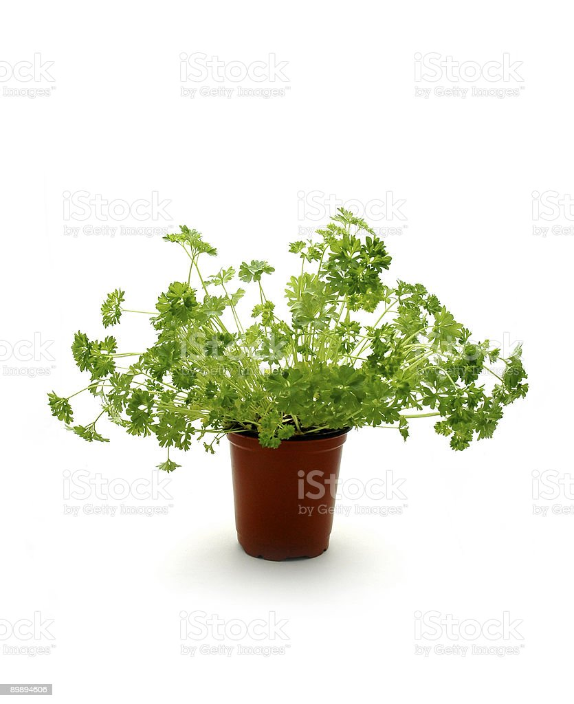 Parsley in a pot* royalty-free stock photo