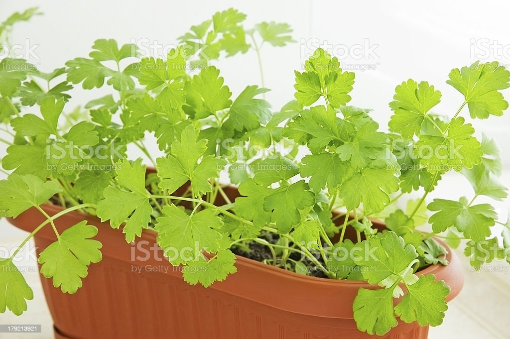 Parsley in pot royalty-free stock photo