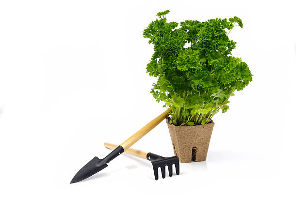 Parsley in pot with garden tools stock photo