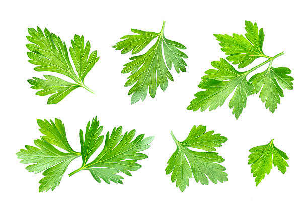Parsley leaf isolated on white. Closeup Fresh parsley leaf isolated on white background cilantro stock pictures, royalty-free photos & images