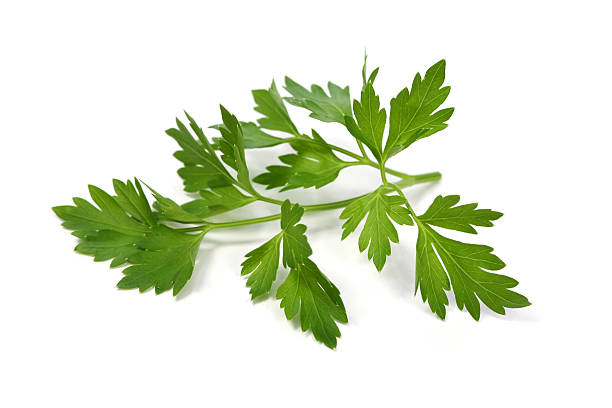 Parsley leaf stock photo