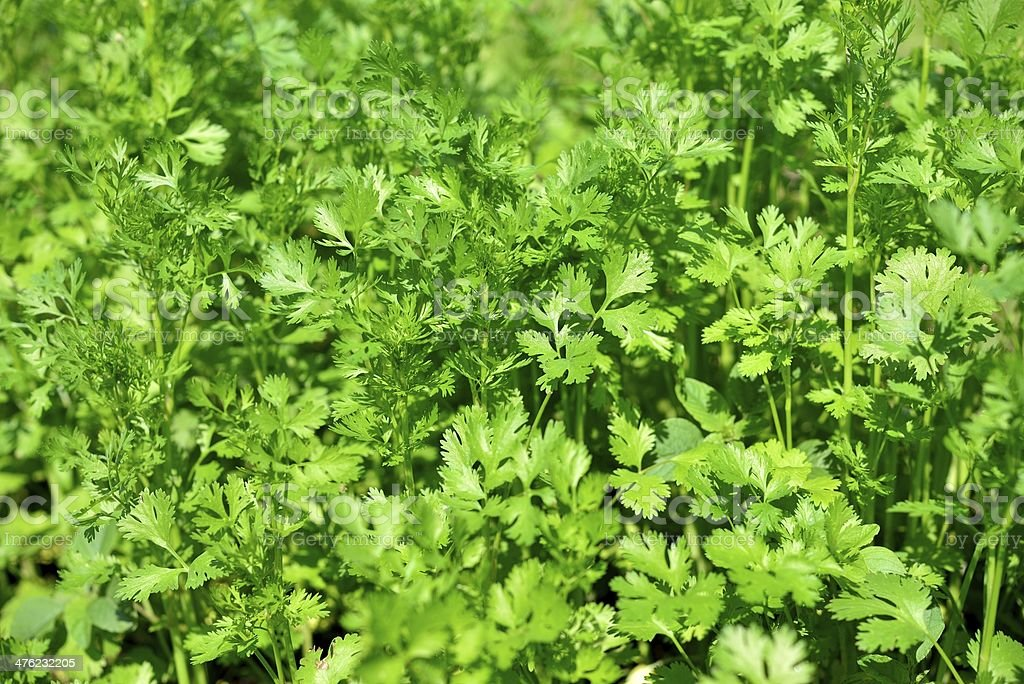 parsley on a bed royalty-free stock photo