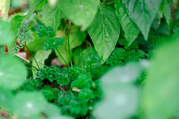 Parsley Parsley leaves in a herb garden, surrounded by basil apostrophe stock pictures, royalty-free photos & images