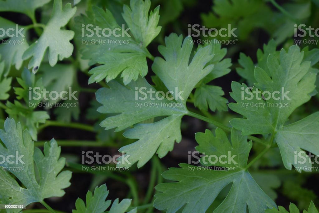 Parsley zbiór zdjęć royalty-free