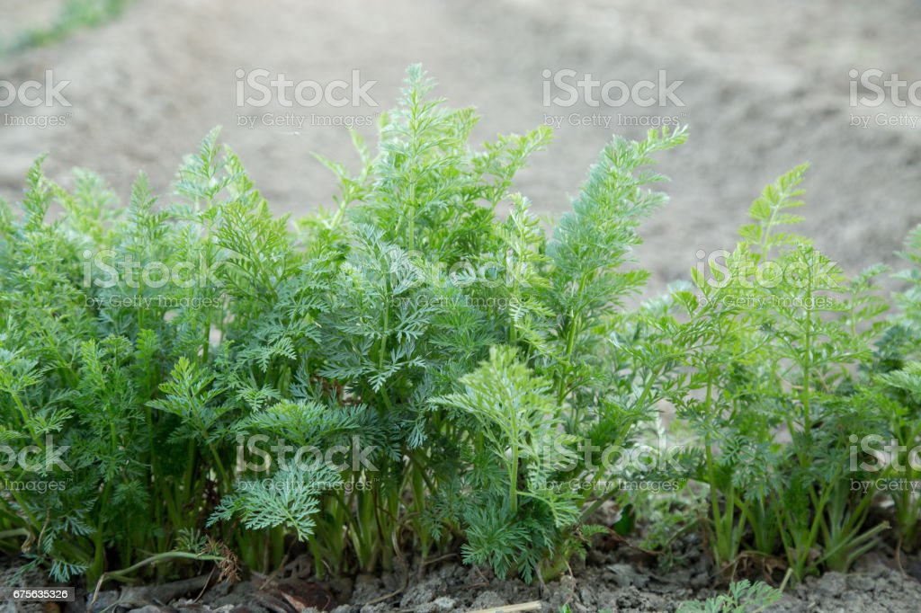 parsley plant growing in agriculture farm royalty-free stock photo
