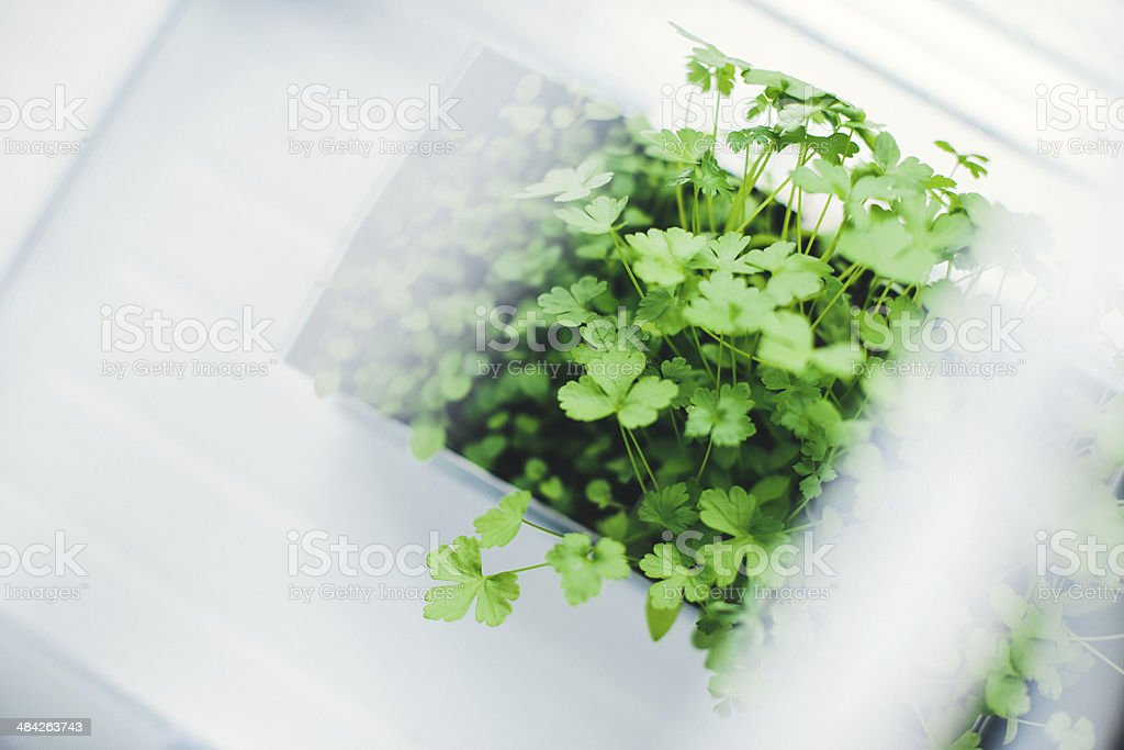 Parsley plant growing royalty-free stock photo