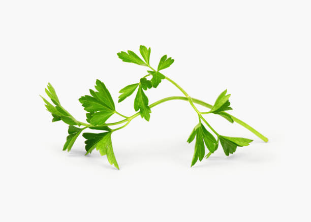 Parsley sprig stock photo